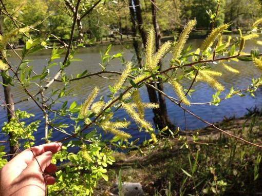 Oct photo - Black willow
